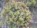 Starr 041006-0220 Santalum haleakalae.jpg
