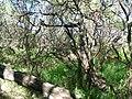 Starr 050108-3014 Prosopis pallida.jpg