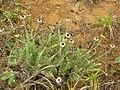 Starr 050519-1822 Tetramolopium rockii.jpg