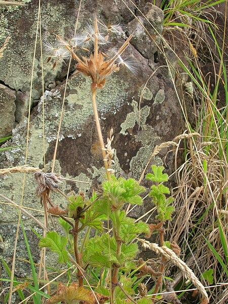 File:Starr 050816-3651 Pelargonium capitatum.jpg