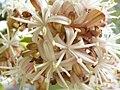 Starr 060826-8668 Dracaena fragrans.jpg