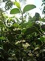 Starr 061105-9598 Psydrax odorata.jpg
