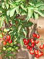 Starr 070228-4908 Solanum seaforthianum.jpg