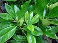 Starr 070906-8578 Eugenia brasiliensis.jpg
