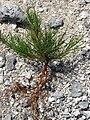 Starr 080603-5756 Casuarina equisetifolia.jpg