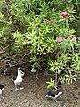 Starr 080606-7031 Nerium oleander.jpg