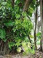 Starr 080610-8100 Syngonium podophyllum.jpg