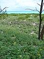 Starr 080610-8247 Casuarina equisetifolia.jpg