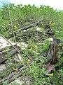 Starr 080610-9526 Casuarina equisetifolia.jpg