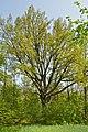 Steineiche Kalvarienberg Weitra GstNr 3348 2014-05 NÖ-Naturdenkmal GD-063.jpg