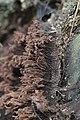 Stemonitis sp. (35024006424).jpg