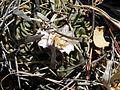 Stenocactus crispatus (5761374230).jpg