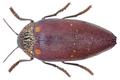 Sternocera castanea (Olivier, 1790).png