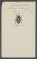 Stethodesma - Print - Iconographia Zoologica - Special Collections University of Amsterdam - UBAINV0274 022 03 0027.tif
