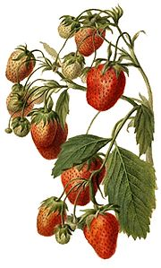 Strawberry, North Carolina state red berry