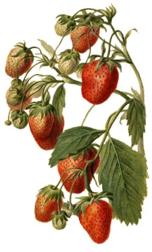 Breeding of strawberries - Watercolor picture of a strawberry plant by Deborah Griscom Passmore in 1890