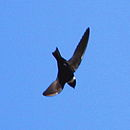 Streptoprocne zonaris White-collared Swift.JPG