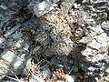 Strombocactus disciformis (5780729076).jpg