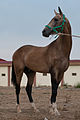 Studfarm in Turkmenistan - Flickr - Kerri-Jo (106).jpg