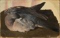 Studie av sovande skogsduva (Ferdinand von Wright) - Nationalmuseum - 101583.tif