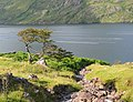 Stunted tree by Killary Harbour - geograph.org.uk - 201386.jpg