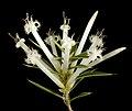 Styphelia tenuifolia - Flickr - Kevin Thiele (1).jpg