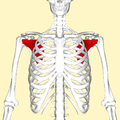 Subscapularis muscle frontal2.png