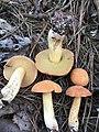 Suillus hirtellus (Peck) Snell 675370.jpg