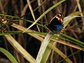 Sulawesi butterfly trsr DSCN0899 v1.JPG