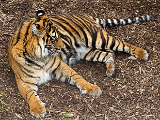Subspecies - Panthera tigris sondaica, Sumatran tiger, an Indonesian subspecies