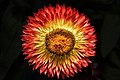 Sunburst-summer-flower - Virginia - ForestWander.jpg