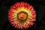 Sunburst-summer-flower - Virginia - ForestWander.jpg
