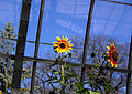 Sunflower 023.jpg
