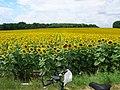 Sunflower field - panoramio.jpg