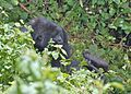 Susa group, mountain gorillas - Flickr - Dave Proffer (31).jpg