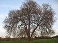 Sutton Veny elm 3.6.jpg