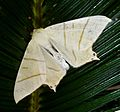 Swallow-tailed moth - Flickr - gailhampshire.jpg