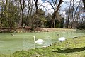 Swans in the English Garden - geo.hlipp.de - 34801.jpg