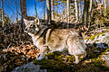 Swedish Vallhund December 2012 006.JPG