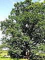 Taĺka Oak June 2014.JPG