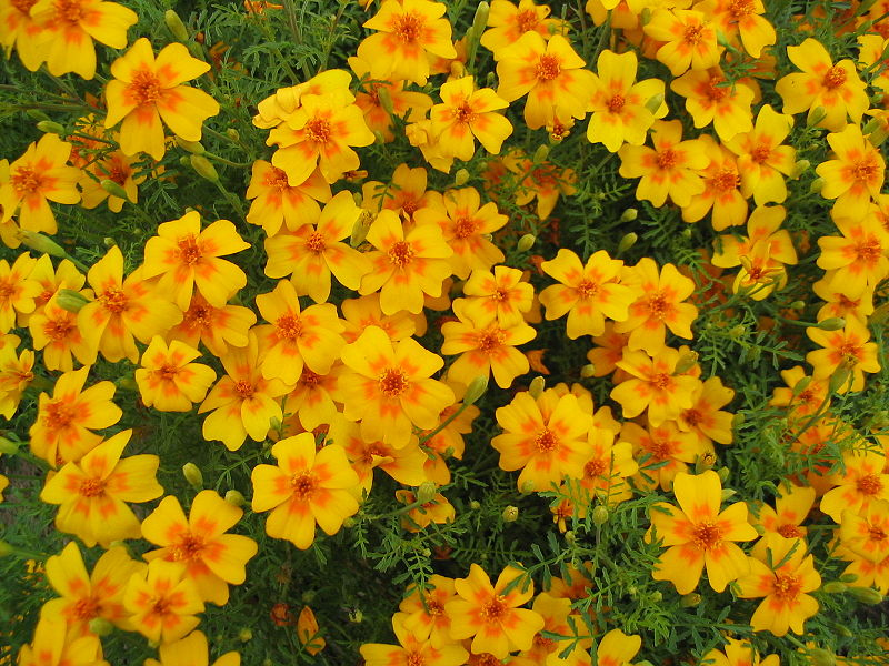 File:Tagetes tenuifolia g122.JPG