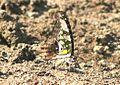 Tailed Jay (Graphium agamemnon) mud-puddling. Navegaon National Park, Maharashtra..jpg
