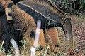 Tamanduá bandeira com filhote nas costas - Myrmecophaga tridactyla 04.jpg