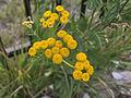 Tanacetum vulgare, 2015-07-18, Beechview, 02.jpg