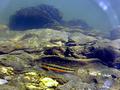 Tangerine Darter Underwater.png
