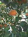 Tangerine plant.jpeg