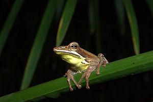 Wildlife of Sri Lanka - Taruga eques - an endemic species of amphibian