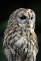 Tawny Owl - CNP 1299 (6962586093).jpg