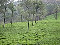 Tea - തേയില 05.JPG