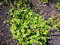 Tellima grandiflora 2007-06-02 (plant).jpg